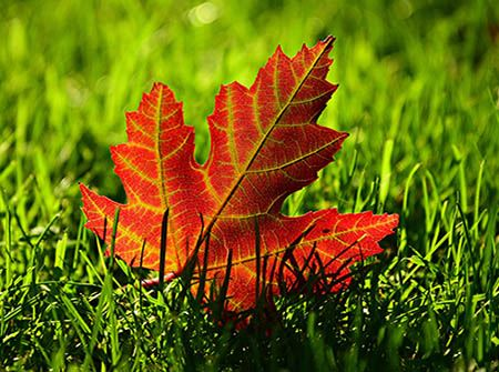A red maple leaf on grass