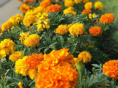 Orange marigolds on Eastman Ave