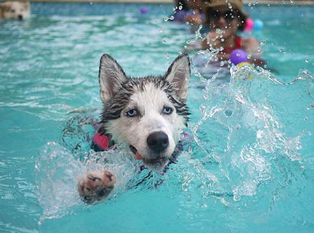 A Siberian Husky swims in a blue pool wearing a black life vest