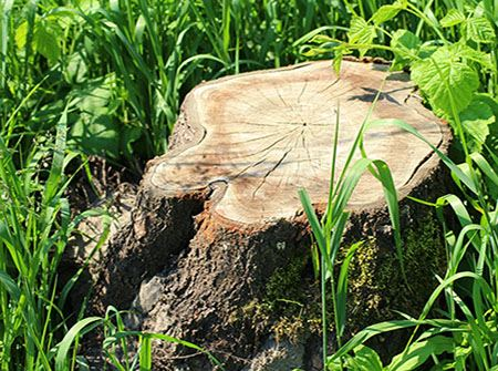 A tree stump cut down surrounded by green grass